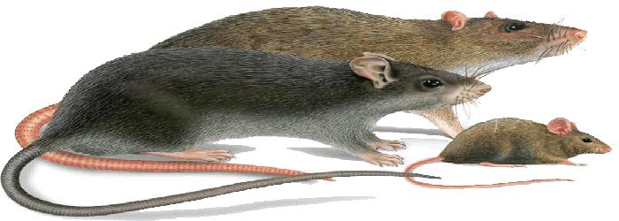 Traitement anti souris rats casablanca - Solution radicale contre les souris ...